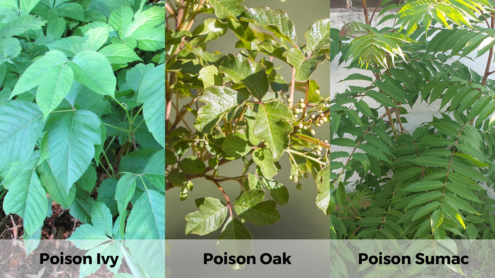 reference of poison ivy, poison oak, and poison sumac